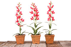 Red flowers in a clay pot Stock Photography