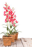 Red flowers in a clay pot Royalty Free Stock Image