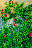 Red Flowers Climbing Wall. Green background with red flowers climbing a wall Stock Photo