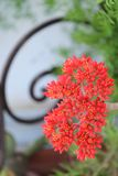City gardens - Red flowers - Crassula falcata   Royalty Free Stock Photography