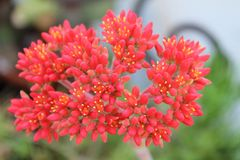 Red flowers - Close up - Crassula falcata -Italy Stock Photo