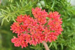Red flowers - Crassula falcata - Italy Royalty Free Stock Photos