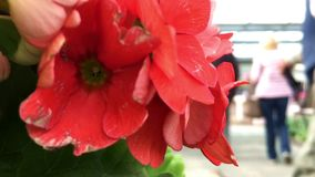 Red flowers close up. stock video