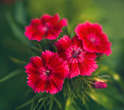 Red flowers closeup Stock Image