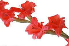 Red flowers with copy space. Red gladiola flower, of the genus Gladiolus in the iris family is native to Europe, Africa, and the Mediterranean and widely Royalty Free Stock Images
