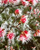 Red flowers covered with ice spikes Stock Images