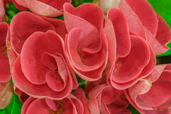 Red flowers - Crown of thorns - Euphorbia milii Stock Image