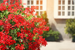 Red flowers decorate a window sill on the street Stock Photos
