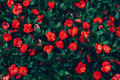 Red flowers with droplets of rain. Top view Royalty Free Stock Images