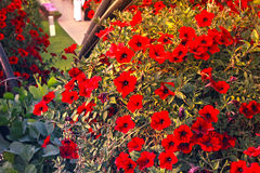 Red flowers in Dubai miracle garden. DUBAI - FEB 11: Dubai Miracle Garden as seen on Feb 11, 2017. It is the largest natural flower garden in the world with a Stock Images