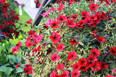 Red flowers in Dubai miracle garden. DUBAI - FEB 11: Dubai Miracle Garden as seen on Feb 11, 2017. It is the largest natural flower garden in the world with a Royalty Free Stock Photos