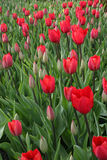 Red flowers at easter. Beautiful combination of red flowers and green leaves Royalty Free Stock Images