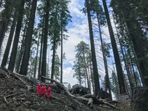 Red flowers emerge from a burnt landscape in Mariposa Grove, Yosemite National Park, California in spring. Surrounded by trees stock photo