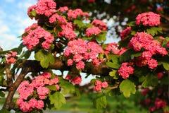 Red flowers of English hawthorn Crataegus laevigata.  Stock Photo