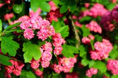 Red flowers of English hawthorn Crataegus laevigata.  Royalty Free Stock Image