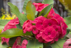 Red flowers - Euphorbia milii. Red flowers - Crown of thorns - Euphorbia milii Royalty Free Stock Image