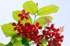 Red flowers exotic lianas against sky Stock Images