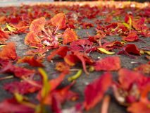 Red flowers falling on the ground, Autumn background concept.  royalty free stock photo
