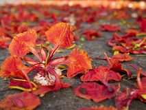 Red flowers falling on the ground, Autumn background concept.  royalty free stock images