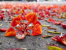 Red flowers falling on the ground, Autumn background concept.  royalty free stock photography