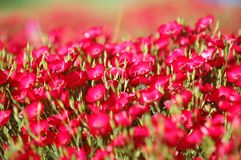 Red flowers on the field Royalty Free Stock Photography
