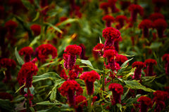 Red flowers. Field of awesome red flowers royalty free stock photos