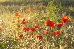 Red flowers in the field. Numerous buds of poppies stock image