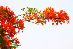 Red flowers of a fiery tree. Delonix regia is a species of flowering plant from the Fabaceae family, Caesalpinioideae subfamilia. In many tropical parts of Royalty Free Stock Photography