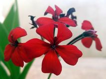 Red flowers with five petals. Oran, Algeria Juin 13 2019 Red flowers with five petals on amazing floral decor. Great fresh red flower on blooming background stock photo