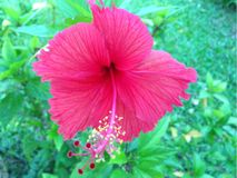 Pink hibiscus flower nature Stock Photography