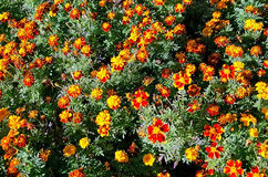 Red flowers in a flowerbed Royalty Free Stock Photos