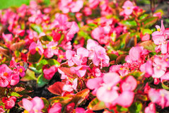 Red flowers in the flowerbeds. Of St. Petersburg royalty free stock photo