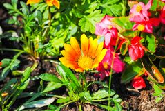 Red flowers in the flowerbeds. Of St. Petersburg royalty free stock photography