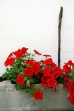 Red flowers in a flowerpot Stock Image