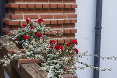 Red flowers in a flowerpot on the background of a brick wall.  stock image