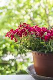 Red flowers in flowerpot on house window. Selective focus stock images