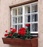 Red flowers in  flowerpot near white window.  Royalty Free Stock Image