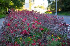 Red flowers in front of Japanese Tea Garden. Golden Gate Park, San Francisco, California: 03/23/2018 - cherry blossom next to Japanese Tea Garden that was not royalty free stock photos