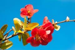 Red flowers. Fruit tree flowers flowering in the spring Stock Photo