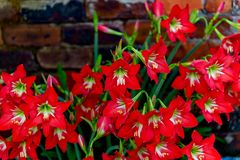 Red flowers in full bloom in spring. royalty free stock images
