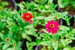 Red flowers in the garden as background. Red flowers in the garden as the background royalty free stock photo