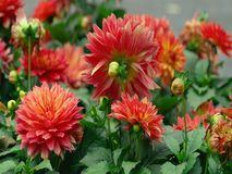 : red flowers in the garden .Beautiful Flowers 2018 stock photos