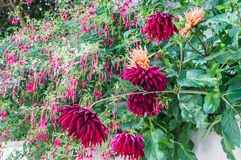 Red flowers in the garden. Red beautiful flowers growing in the green garden royalty free stock photography