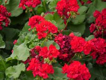 Red flowers in a garden. Beautiful red flowers in a garden park royalty free stock photography