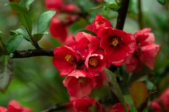 Red flowers in the garden on green background. Garden flower. Spring floral background. Tree branch is blooming of red flowers. Sp stock photography