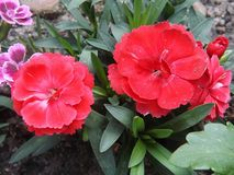 Red Flowers in the garden. Close-up on the petals. Pelargon`s cousin. Spring in the afternoon Stock Photography