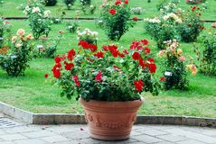 Red flowers in the garden in Rome city Royalty Free Stock Photography