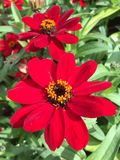 Red flowers in a garden. 2 Scarlet flowers in a border Stock Photography