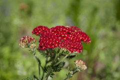 Red Flowers. In the garden,Tallinn,Estonia Stock Photography