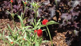 Strawberry Fields Globe Amaranth stock video footage